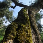 Cilento DOP (CasalVelino) sottozona Fontana. Varietà: Oliva Bianca di Pollica. Età delle piante: 400 anni.
