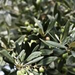 Cilento DOP (Salento) sottozona Nocedda. Varietà: Salella. Età delle piante: 150 anni.