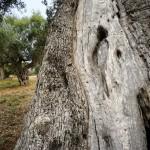 Cilento DOP (CasalVelino) sottozona Cattuieddo. Varietà: Salella. Età delle piante: 200 anni.