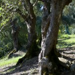 Cilento DOP (CasalVelino) sottozona Cancarace. Varietà: Salella. Età delle piante: 350 anni.